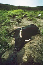 Cow suffocated from gases from Lake Nyos